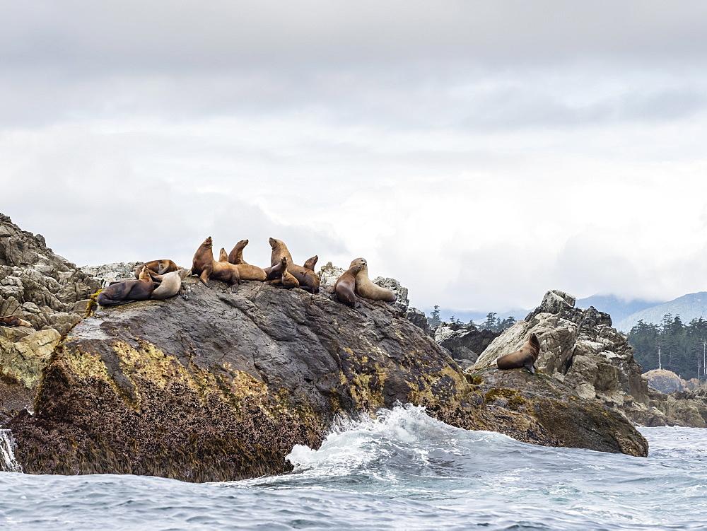 Adult Steller sea lions (Eumetopias jubatus), near SGang Gwaay Island, Haida Gwaii, British Columbia, Canada, North America - 1112-4195