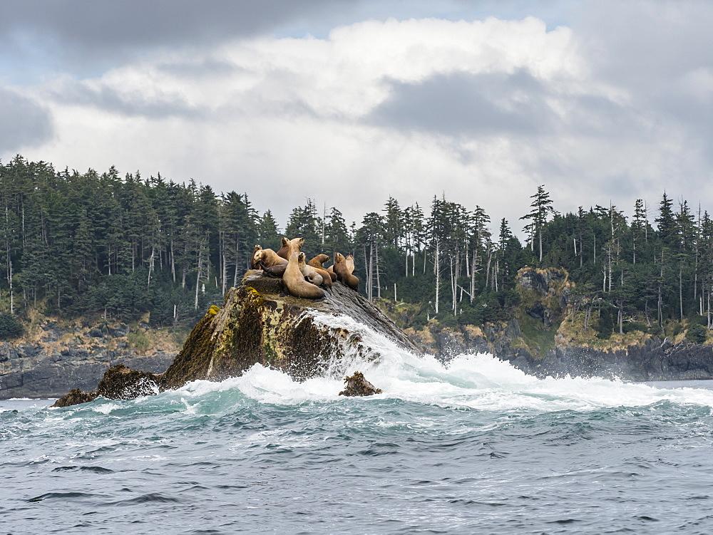 Adult Steller sea lions (Eumetopias jubatus), near SGang Gwaay Island, Haida Gwaii, British Columbia, Canada, North America - 1112-4196