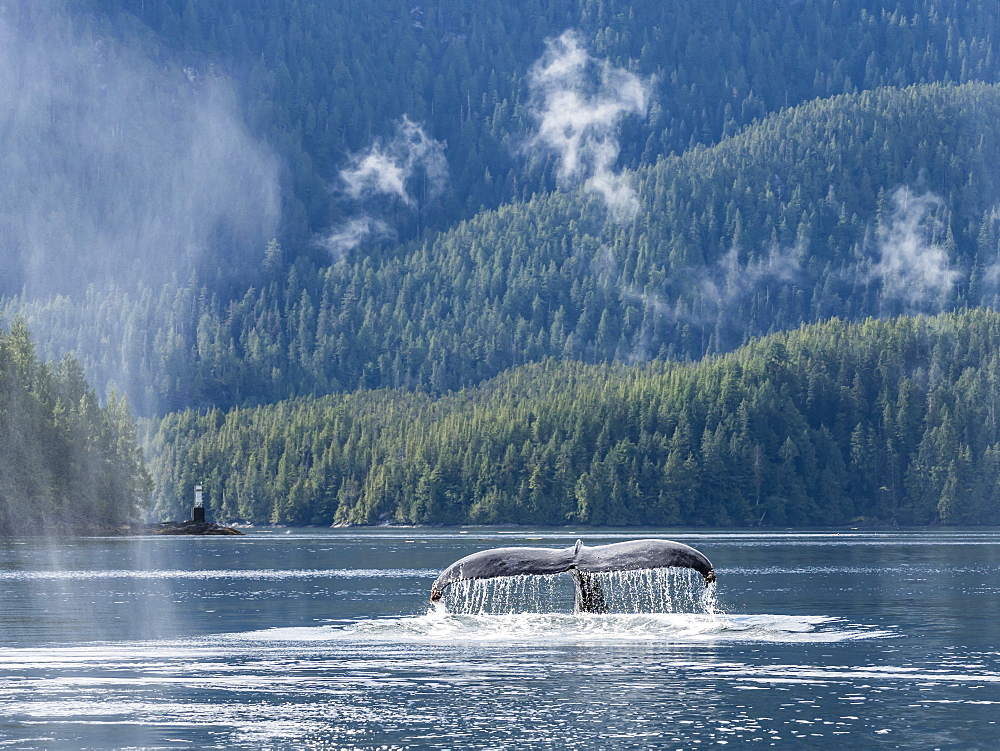 A lone humpback whale (Megaptera novaeangliae), flukes-up dive in Graham Reach, British Columbia, Canada, North America - 1112-4197