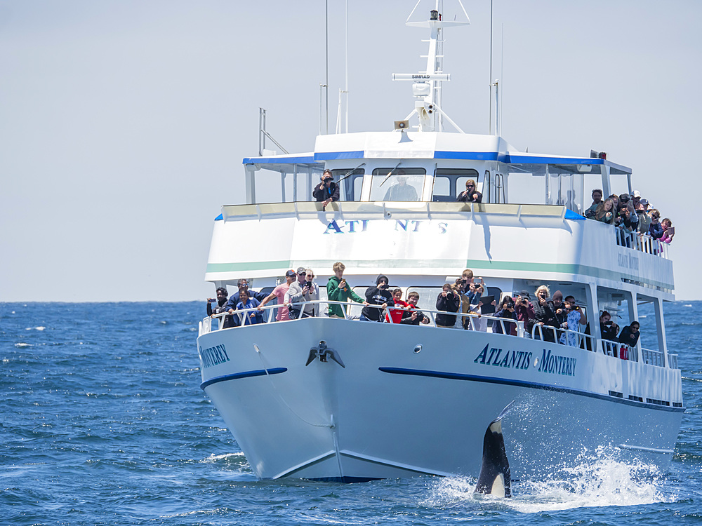 Transient killer whale, Orcinus orca, near boat in the Monterey Bay National Marine Sanctuary, California, USA.
