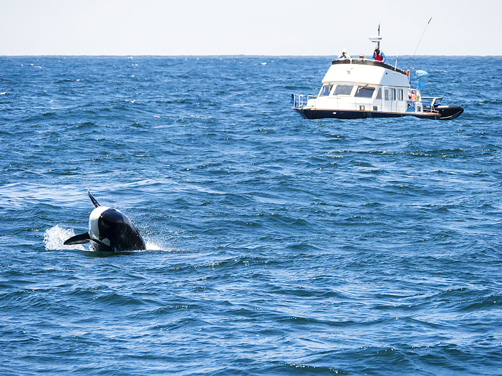Transient killer whale, Orcinus orca, breaching in the Monterey Bay National Marine Sanctuary, California, USA.