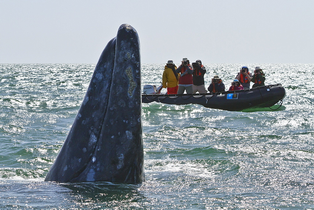 California gray whale (Eschrichtius robustus) and excited whale watchers, San Ignacio Lagoon, Baja California Sur, Mexico, North America