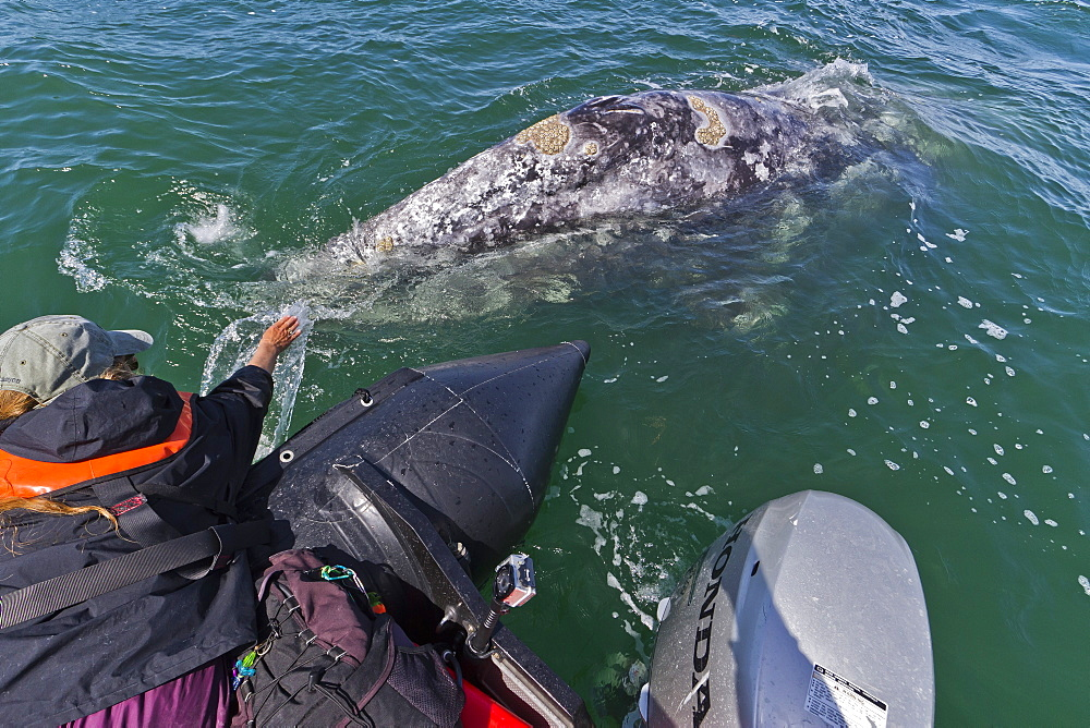 California gray whale (Eschrichtius robustus) and excited whale watcher, San Ignacio Lagoon, Baja California Sur, Mexico, North America