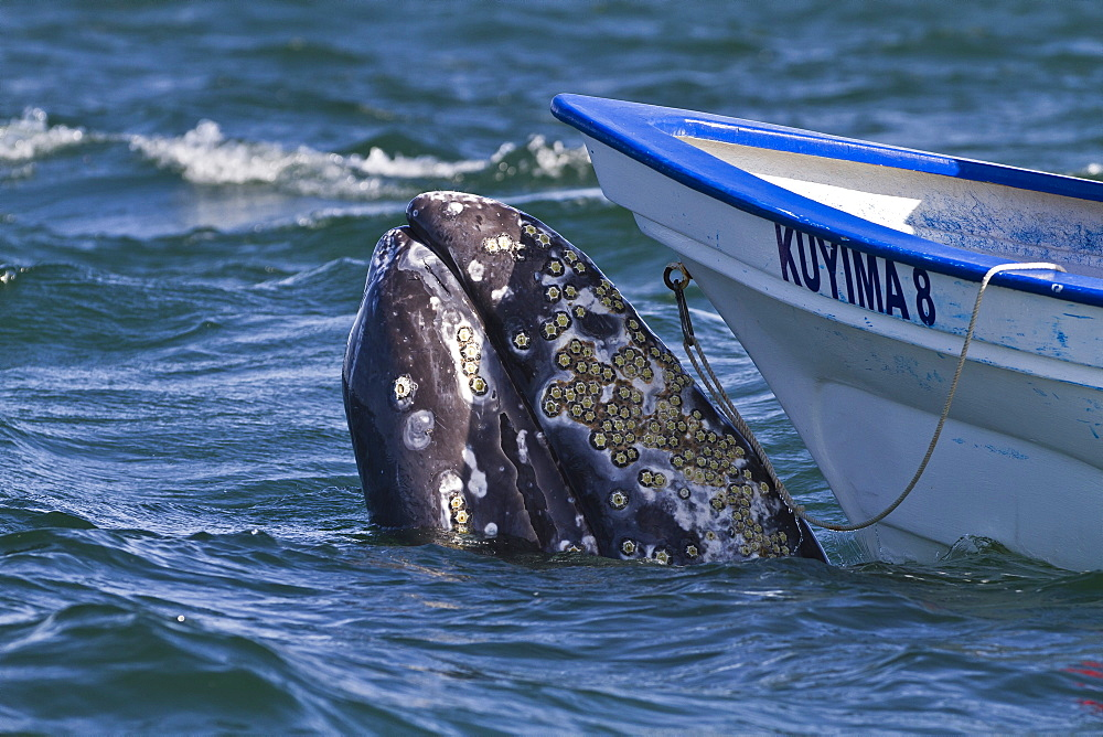 California gray whale (Eschrichtius robustus) close to whale watchers' boat, San Ignacio Lagoon, Baja California Sur, Mexico, North America