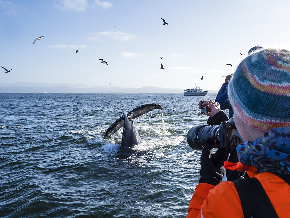 Humpback whale (Megaptera novaeangliae) flukes-up dive in Monterey Bay National Marine Sanctuary, California, United States of America, North America
