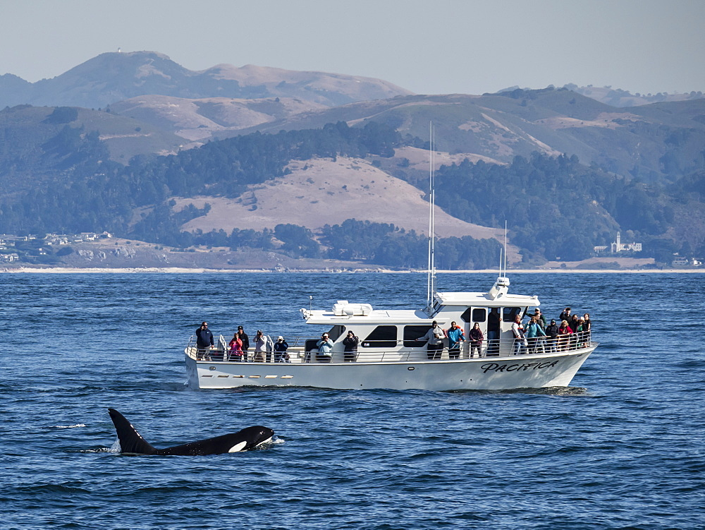 Transient type killer whale, Orcinus orca, surfacing near boat in Monterey Bay National Marine Sanctuary, California, USA.
