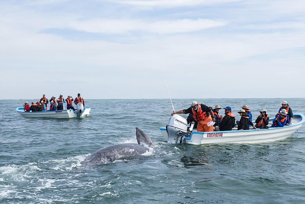 California gray whale calf, Eschrichtius robustus, with whale watchers in San Ignacio Lagoon, Baja California Sur, Mexico.