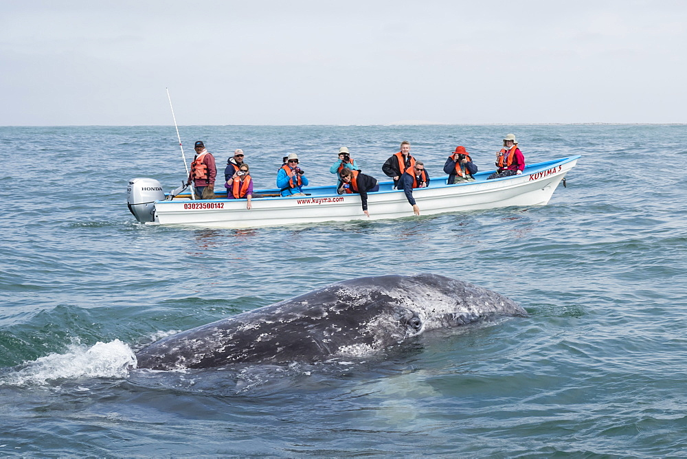 California gray whale calf (Eschrichtius robustus), with whale watchers in San Ignacio Lagoon, Baja California Sur, Mexico, North America - 1112-4383