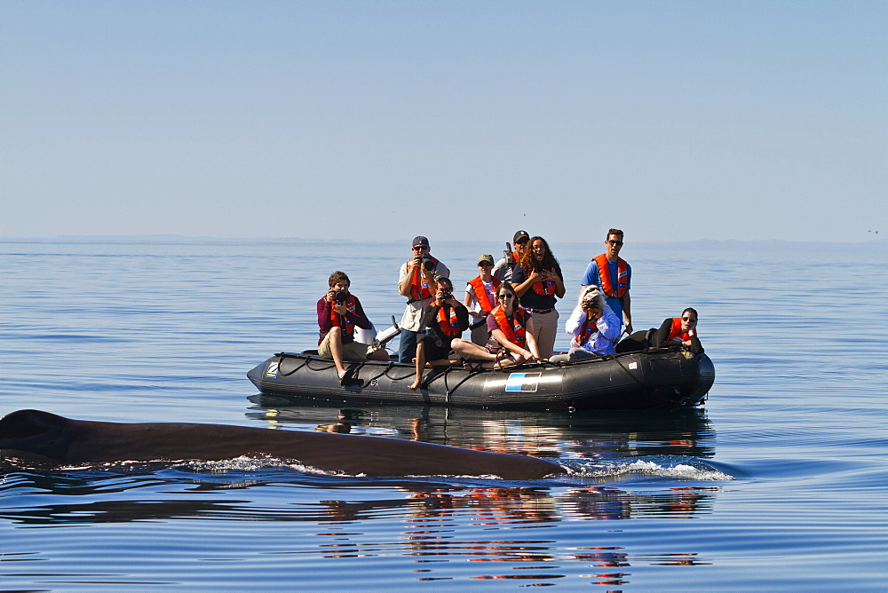Sperm whale (Physeter macrocephalus) near zodiac, Isla San Pedro Martir, Gulf of California (Sea of Cortez), Baja California Norte, Mexico, North America