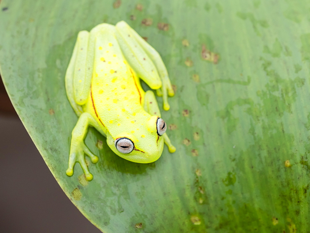 An adult common polkadot treefrog (Hyla punctata), on the Pacaya River, Amazon Basin, Loreto, Peru, South America