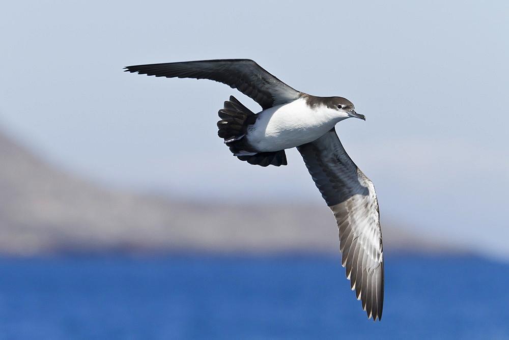 Galapagos shearwater (Puffinus subalaris), Punta Pitt, San Cristobal Island, Galapagos Islands, UNESCO World Heritage Site, Ecuador, South America