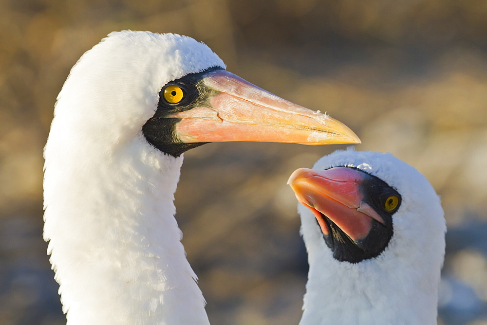 Nazca booby (Sula grantii), Punta Suarez, Santiago Island, Galapagos Islands, UNESCO World Heritage Site, Ecuador, South America