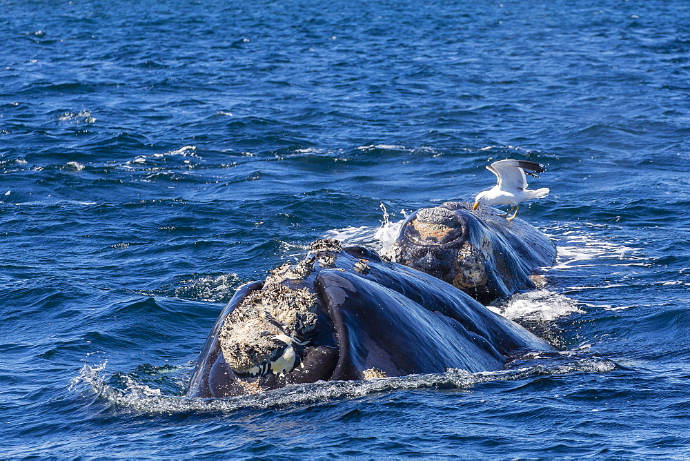 Southern right whale (Eubalaena australis) calf being fed upon by kelp gull (Larus dominicanus), Golfo Nuevo, Peninsula Valdes, Argentina, South America