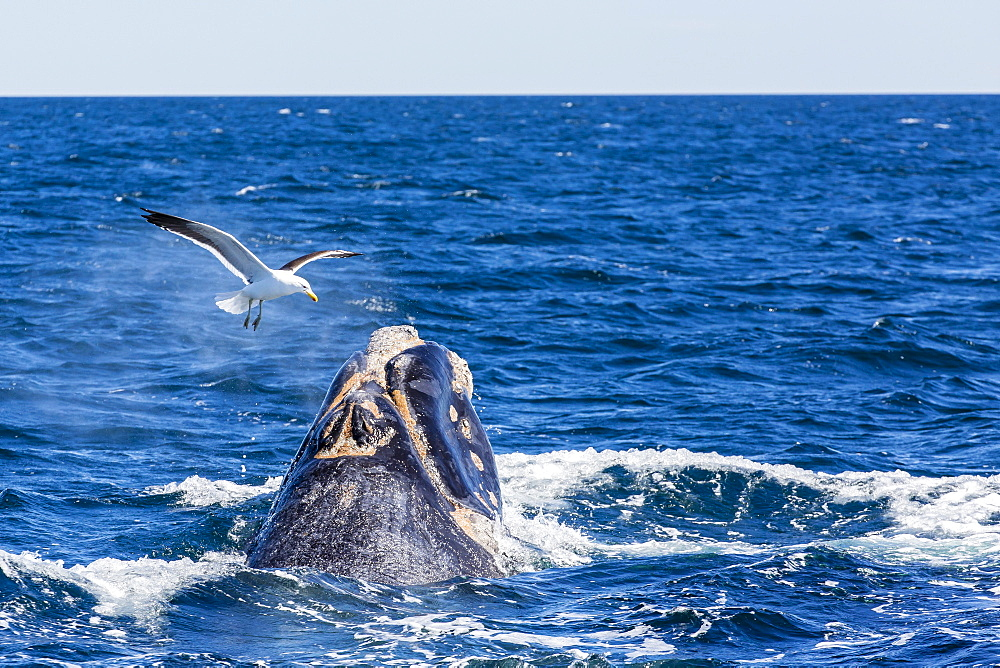 Southern right whale (Eubalaena australis) calf being harassed by kelp gull (Larus dominicanus), Golfo Nuevo, Peninsula Valdes, Argentina, South America