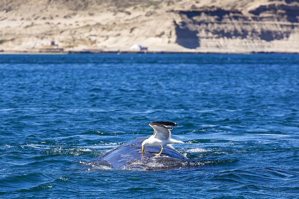 Southern right whale (Eubalaena australis) being fed upon by kelp gull (Larus dominicanus), Golfo Nuevo, Peninsula Valdes, Argentina, South America