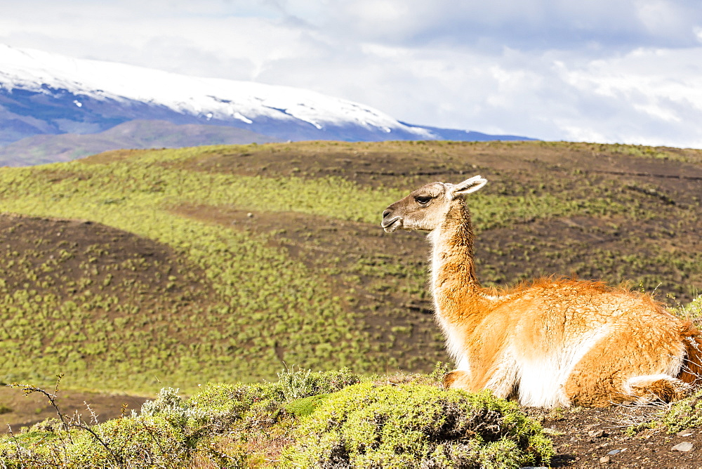 Adult guanacos (Lama guanicoe), Torres del Paine National Park, Patagonia, Chile, South America
