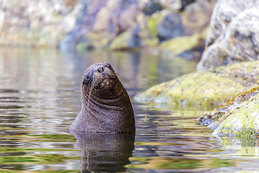 South American sea lion (Otaria flavescens) bull, Seno Agostini Fjord, Strait of Magellan, Patagonia, Chile, South America