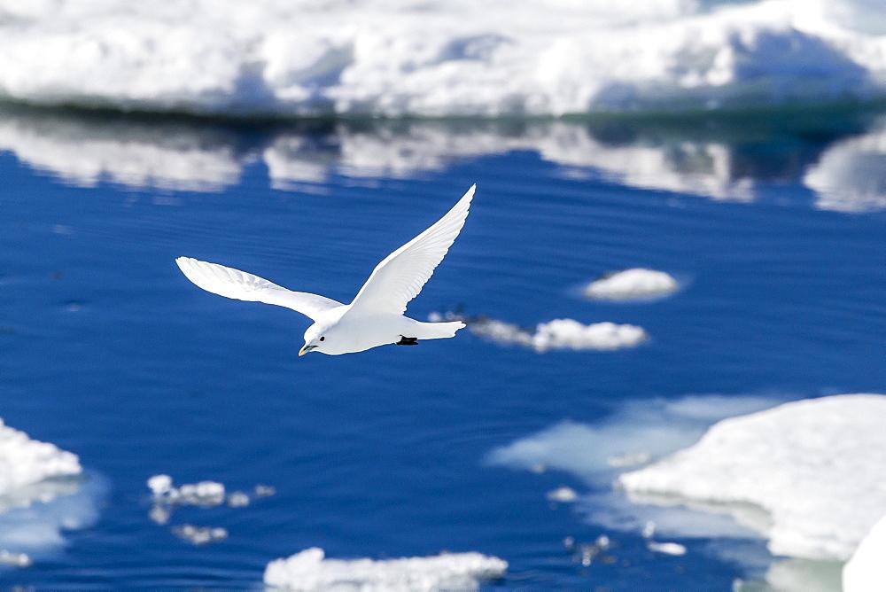 Adult ivory gull (Pagophila eburnea), Bear Sound, Spitsbergen Island, Svalbard, Norway, Scandinavia, Europe