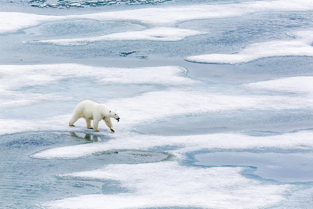 A curious young polar bear (Ursus maritimus) on the ice in Bear Sound, Spitsbergen Island, Svalbard, Norway, Scandinavia, Europe  - 1112-827