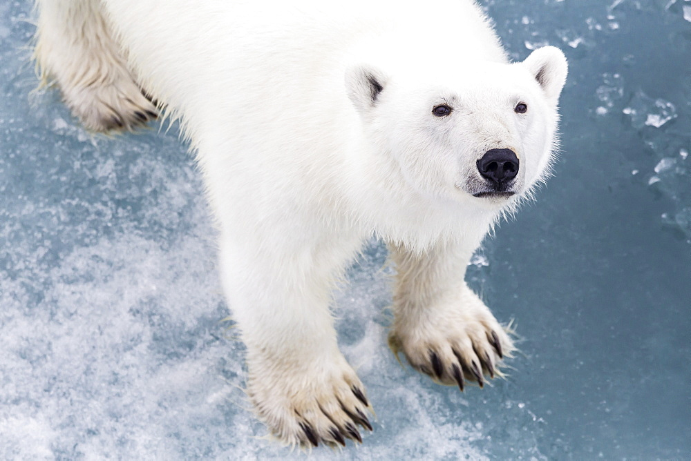 A curious young polar bear (Ursus maritimus) on the ice in Bear Sound, Spitsbergen Island, Svalbard, Norway, Scandinavia, Europe  - 1112-830