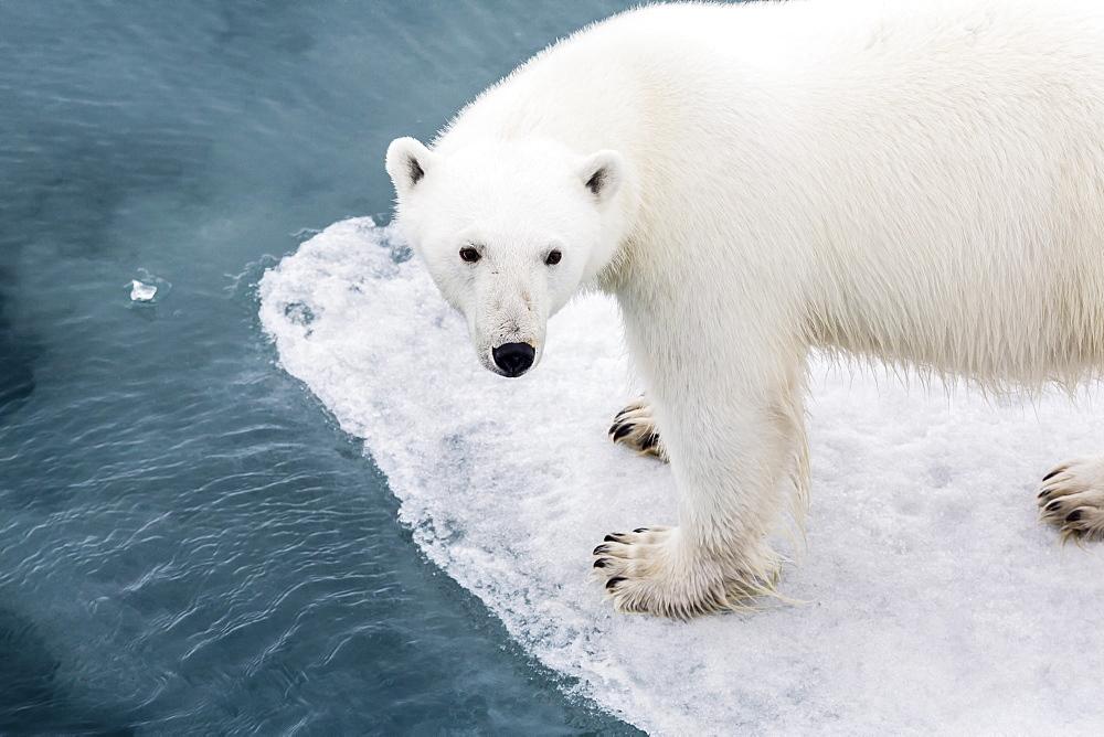 A curious young polar bear (Ursus maritimus) on the ice in Bear Sound, Spitsbergen Island, Svalbard, Norway, Scandinavia, Europe  - 1112-831