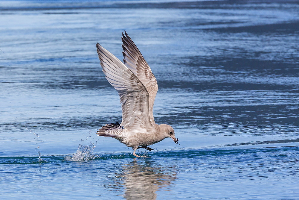 Juvenile glaucous-winged gull (Larus glaucescens), Inian Pass, Southeast Alaska, United States of America, North America
