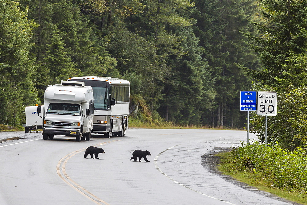American black bear (Ursus americanus) COY (cubs of year), on the road to Mendenhall Glacier, Southeast Alaska, United States of America, North America