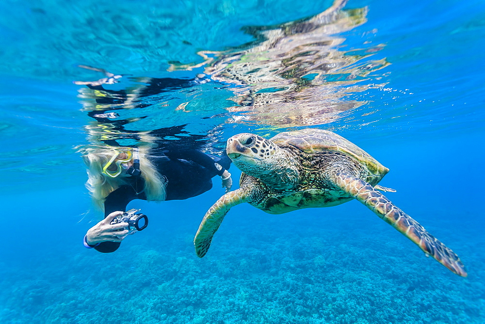 Green sea turtle (Chelonia mydas) underwater with snorkeler, Maui, Hawaii, United States of America, Pacific