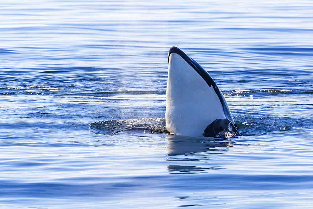 Resident killer whale, Orcinus orca, spy-hopping in Cattle Pass, San Juan Island, Washington, United States of America, North America