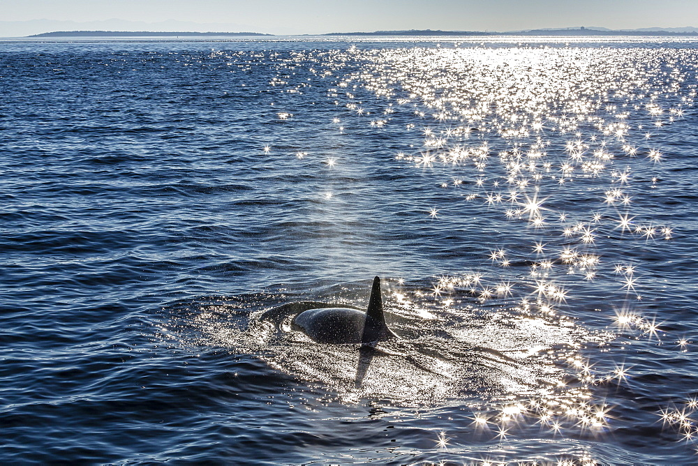 Resident killer whale, Orcinus orca, Cattle Pass, San Juan Island, Washington, United States of America, North America