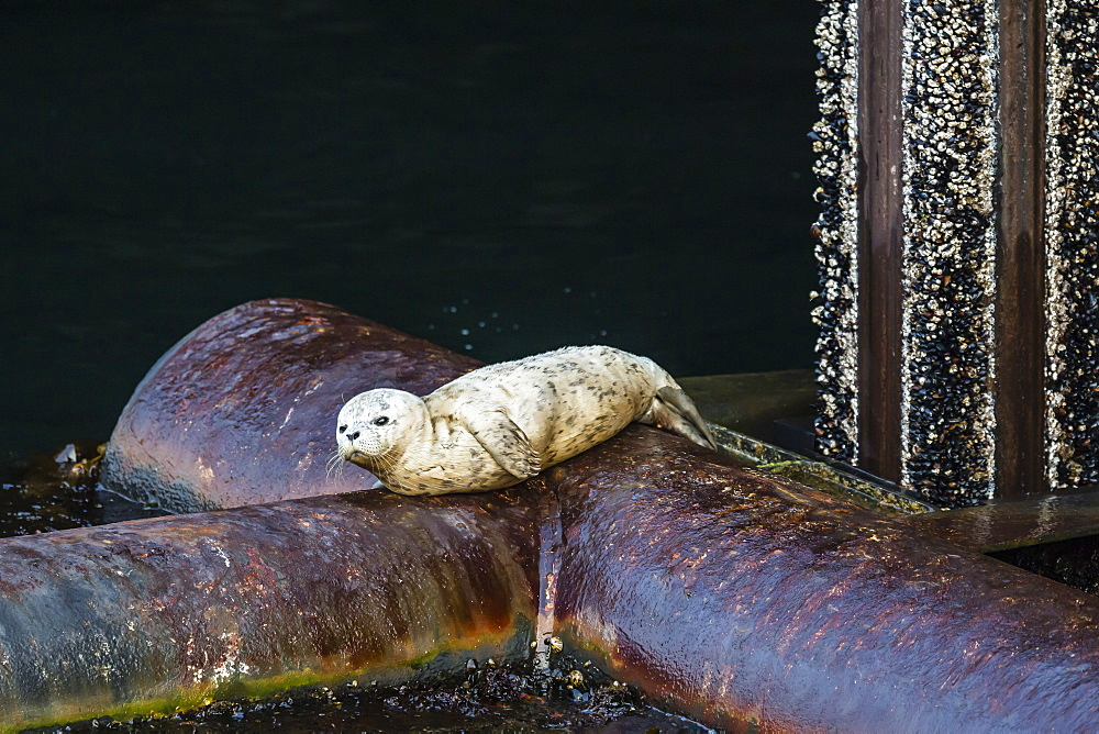 Baby harbour seal, Phoca vitulina, downtown docks, Seattle, Washington, United States of America, North America