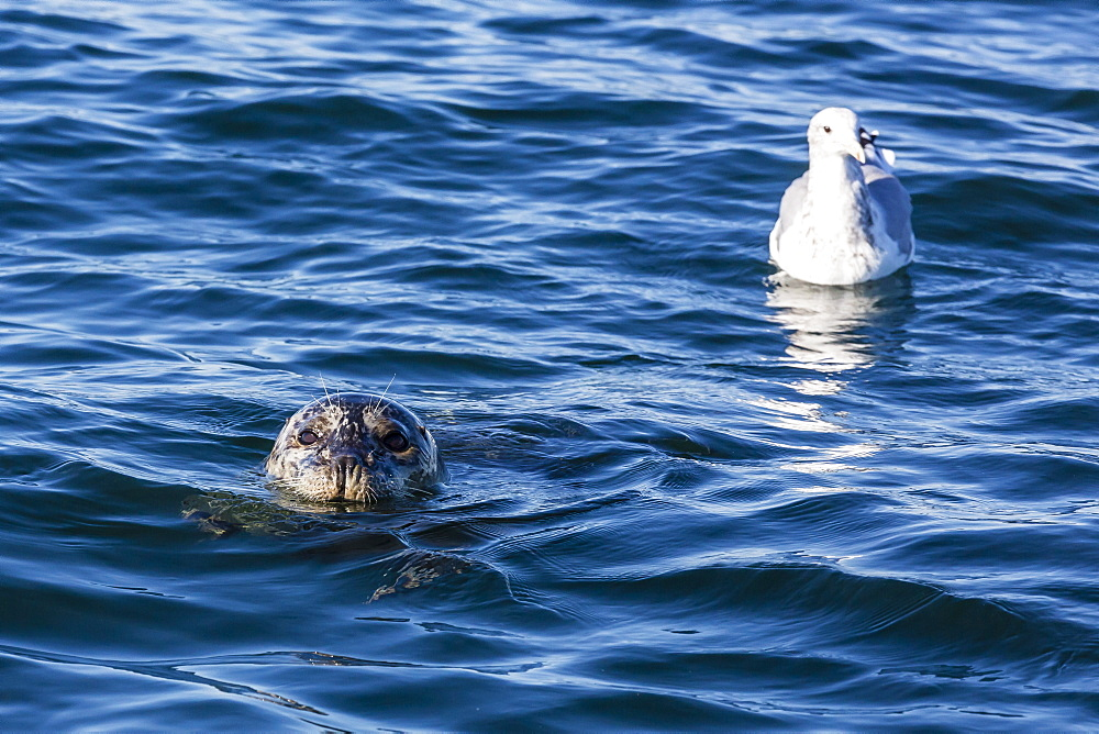 Harbour seal, Phoca vitulina, near gull, Seattle, Washington, United States of America, North America