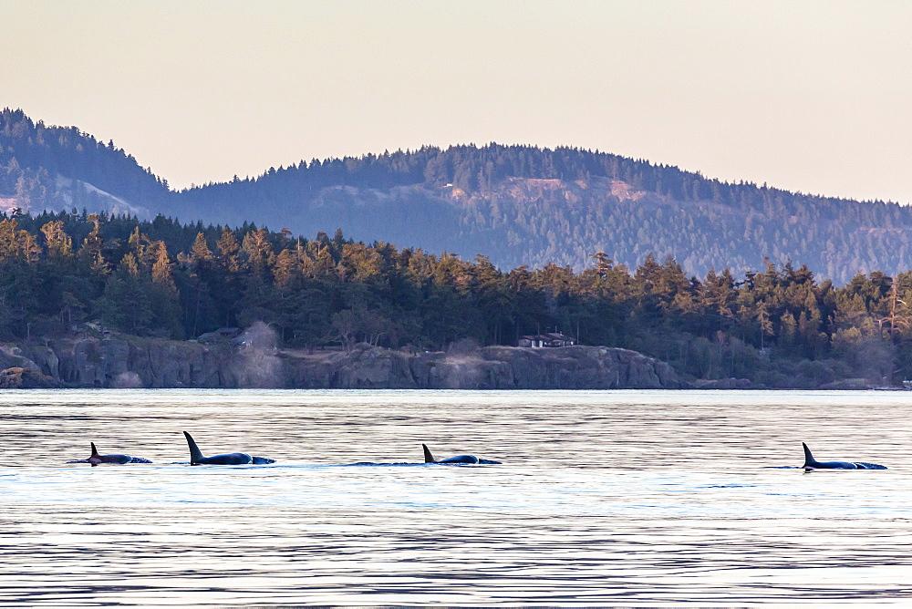 Transient killer whales (Orcinus orca), Haro Strait, Saturna Island, British Columbia, Canada, North America