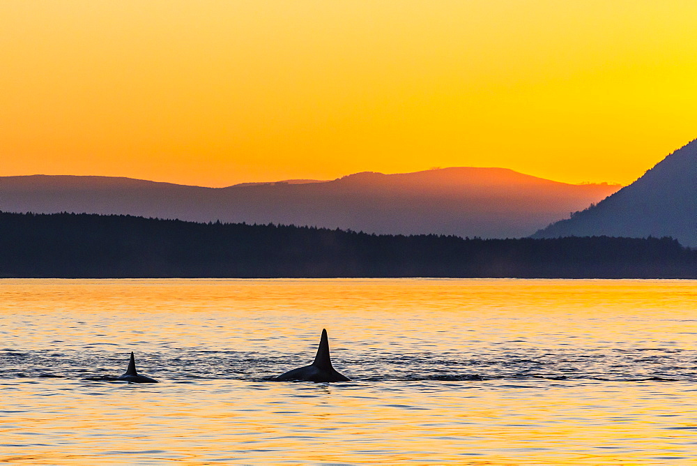 Transient killer whales (Orcinus orca) surfacing at sunset, Haro Strait, Saturna Island, British Columbia, Canada, North America