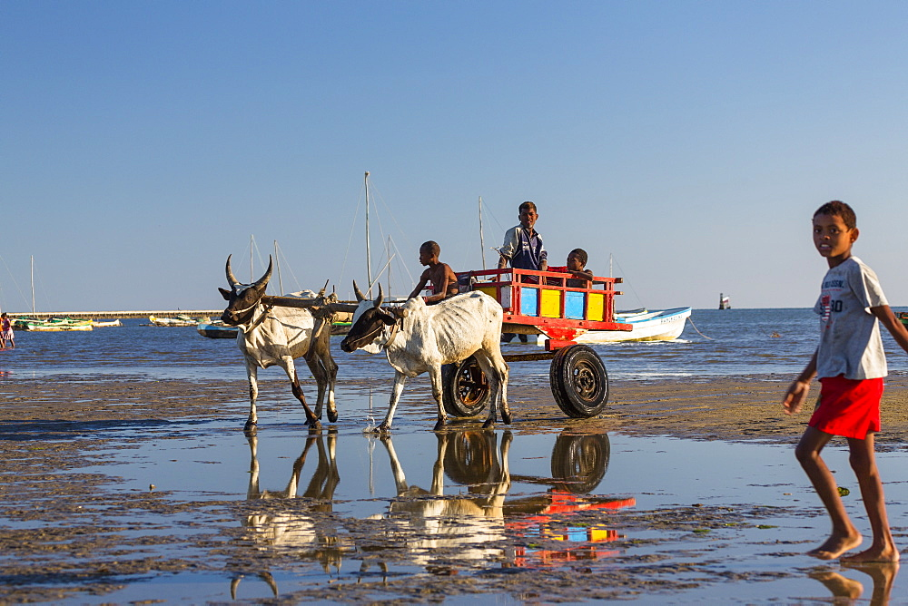 Oxcart pulled by zebus on the beach, Tulear, Madagascar, Africa