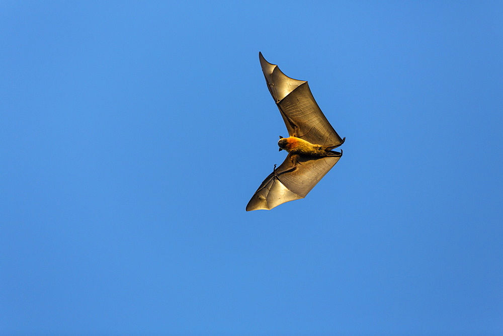 Flying Fox, Pteropus rufus, Berenty Reserve, Madagascar, Africa