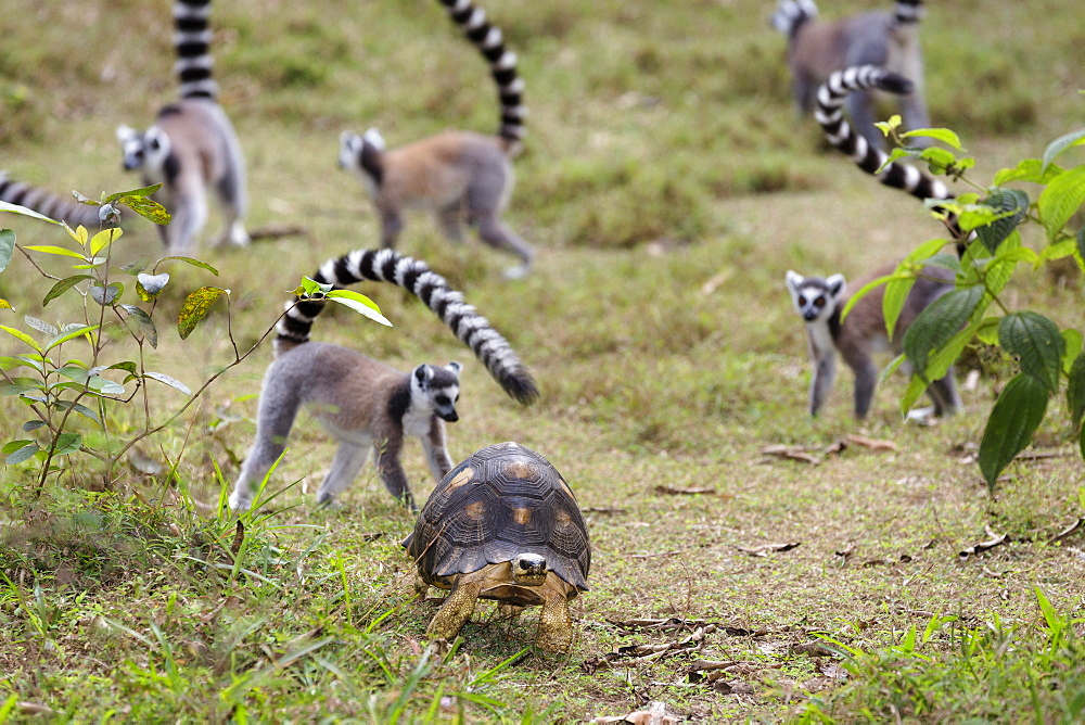 Tortoise and Ringtailed Lemurs, Lemur catta, Nahampoana Reserve, South Madagascar, Africa