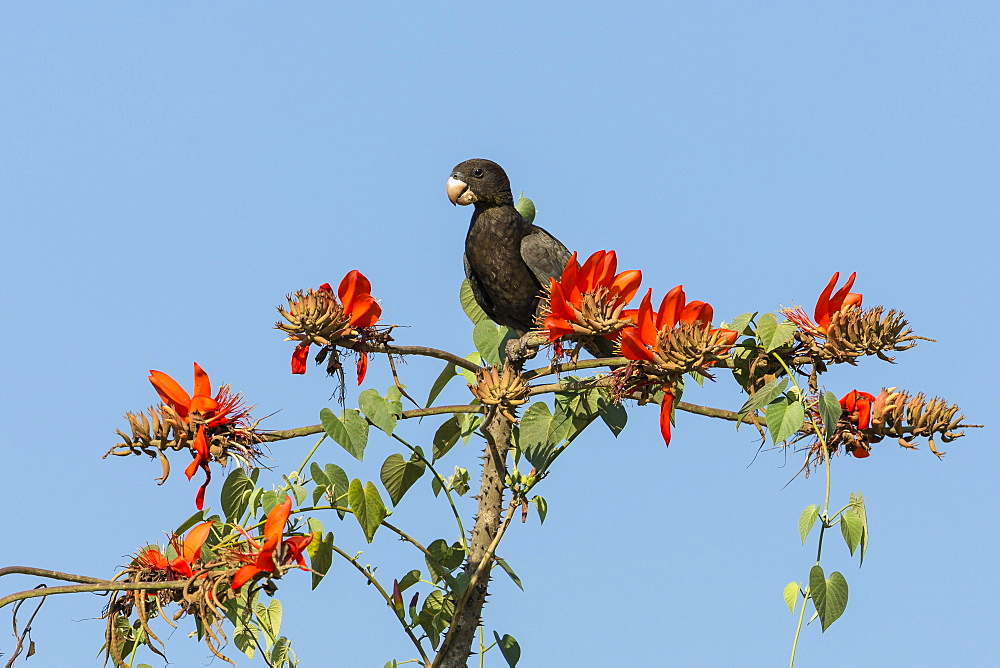Greater Vasa Parrot in a coral tree, Coracopsis vasa drouhardi, Morondava region, West Madagascar, Africa