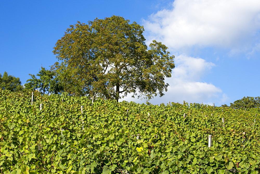 Vineyard and tree at Weingut Dahms winery, Sennfeld, near Schweinfurt, Franconia, Bavaria, Germany