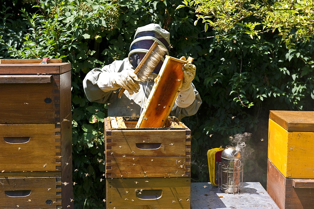 Beekeeper with smoker at wooden beehives, Freiburg im Breisgau, Black Forest, Baden-Wuerttemberg, Germany - 1113-100414