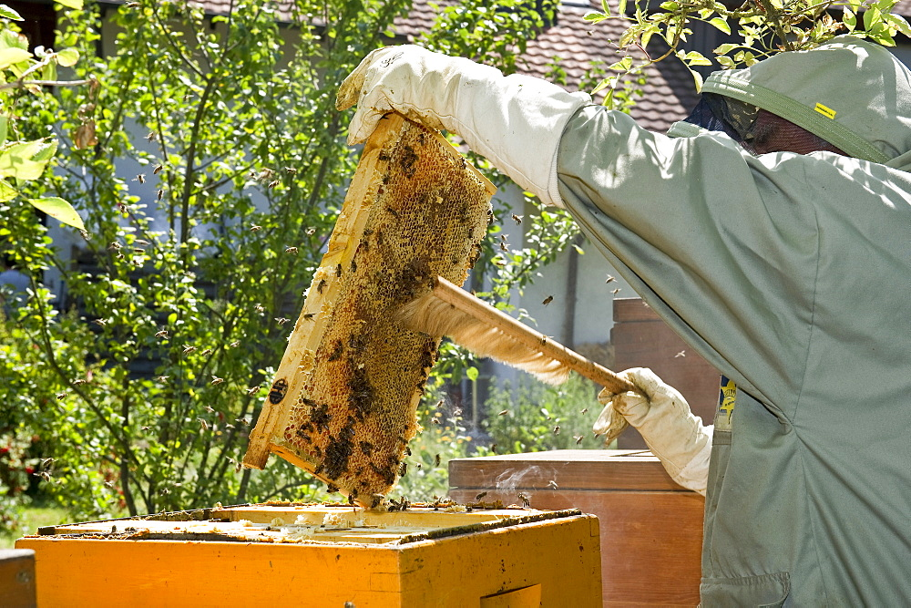 Beekeeper with honeycombs, Freiburg im Breisgau, Black Forest, Baden-Wuerttemberg, Germany - 1113-100415