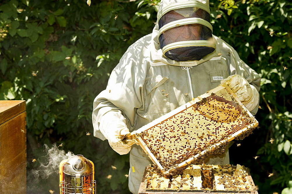 Beekeeper with honeycombs, Freiburg im Breisgau, Black Forest, Baden-Wuerttemberg, Germany - 1113-100418