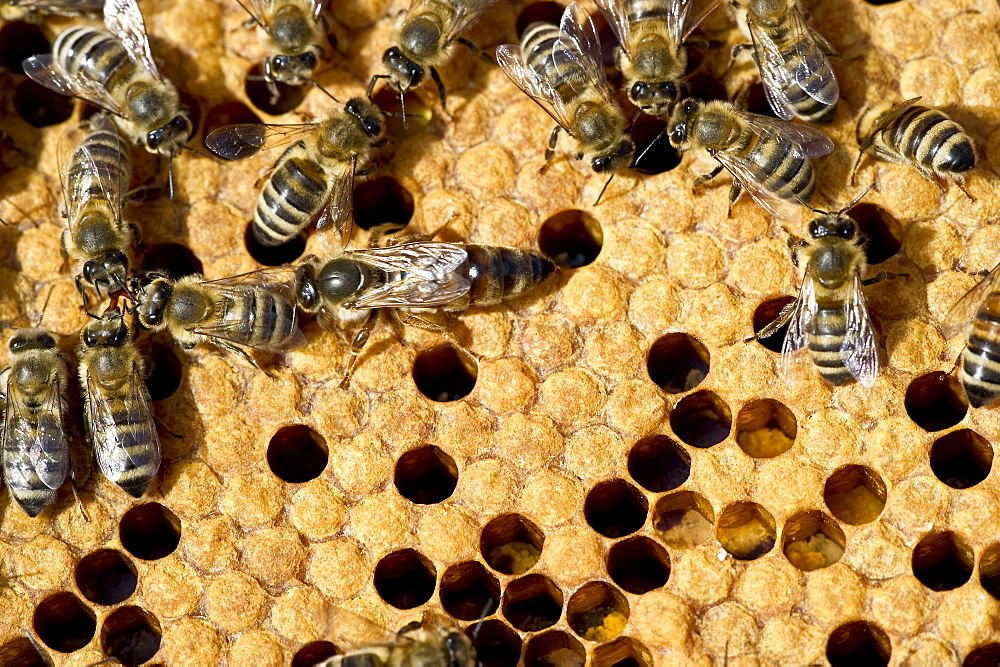 Queen bee and bees on honeycombs, Freiburg im Breisgau, Baden-Wuerttemberg, Germany - 1113-100442