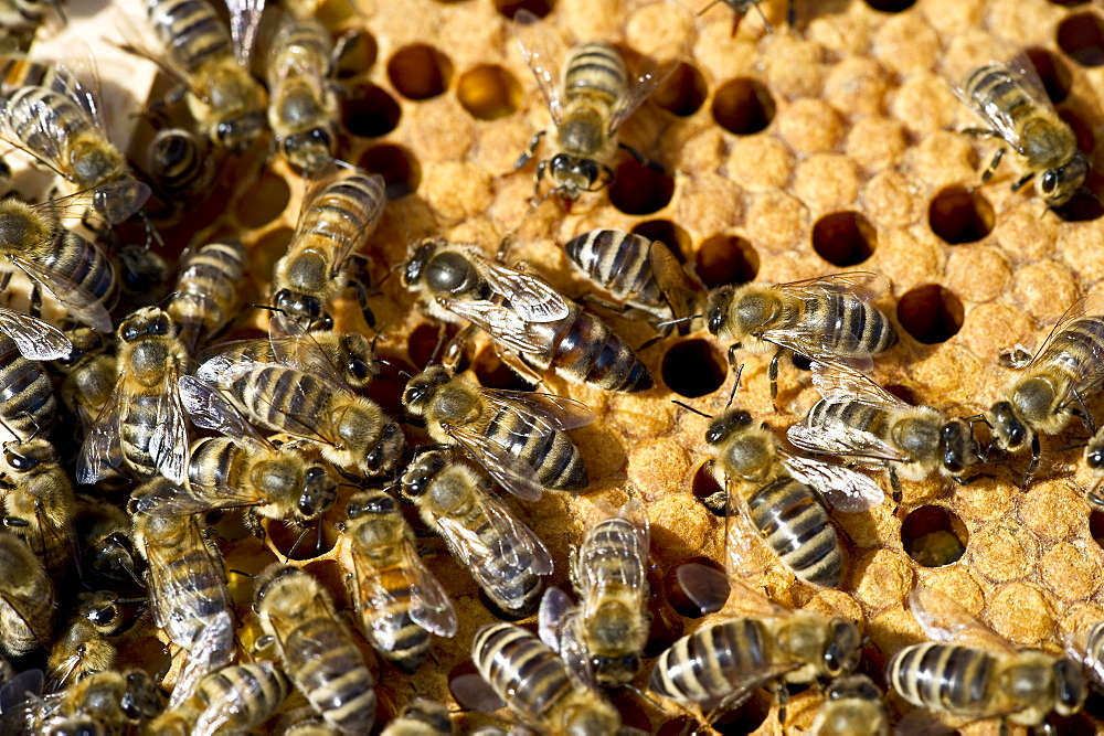 Queen bee and bees on honeycombs, Freiburg im Breisgau, Baden-Wuerttemberg, Germany