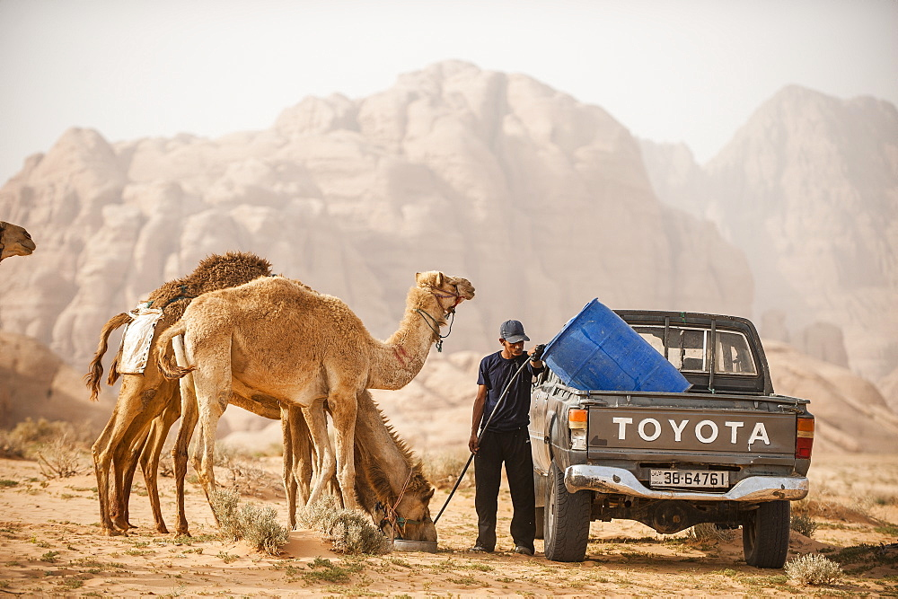 Dromedaries drinking, Wadi Rum, Jordan, Middle East