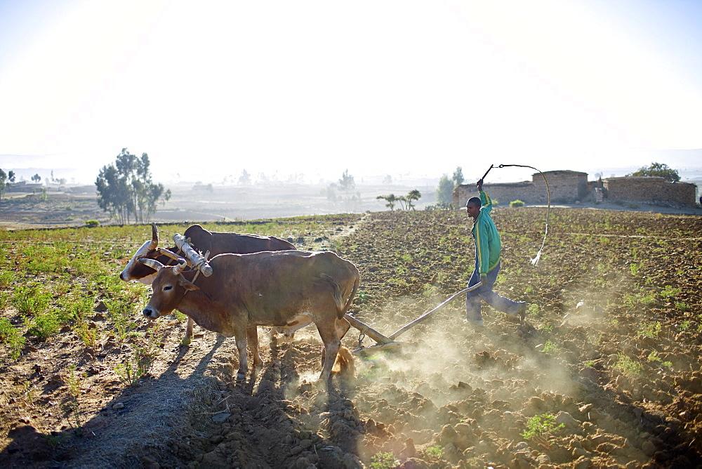 Farmer plowing a field, near Hawzien, Gheralta, Tigray Region, Ethiopia