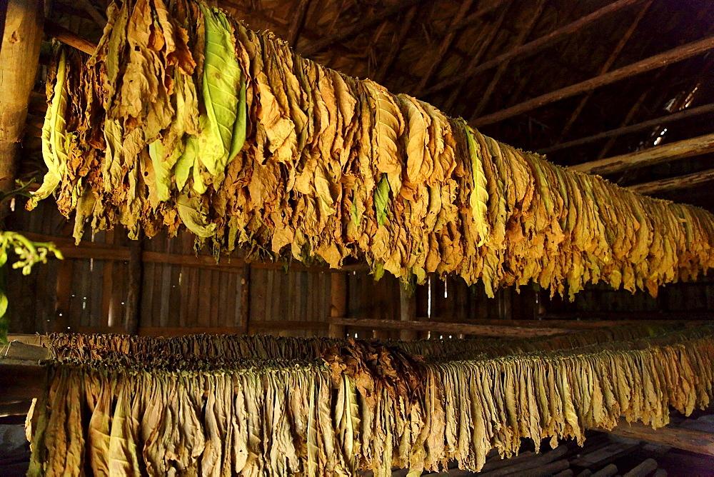 Inside tobacco kiln, Vinales, Pinar del Rio, Cuba, West Indies