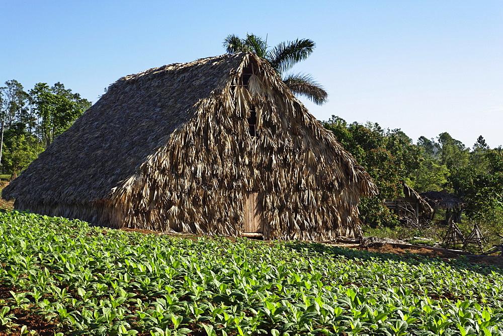 Kiln in tobacco field, Vinales, Pinar del Rio, Cuba, West Indies