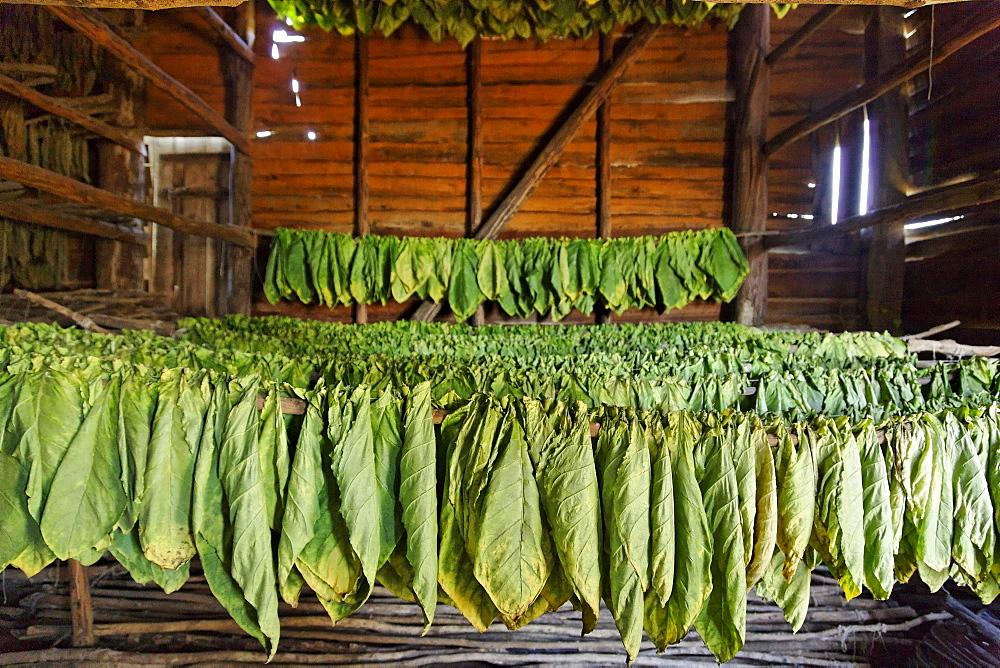 Tobacco leaves drying, Alejandro Robaina Tobacco Farm, Pinar del Rio, Cuba, West Indies