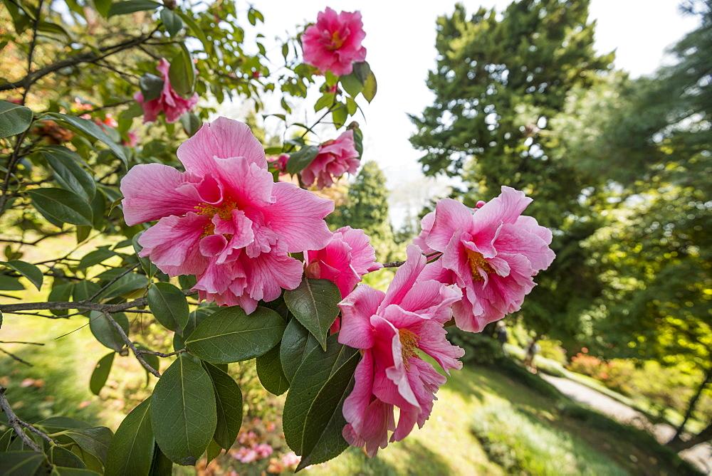 Camellia, Camellia japonica in Villa Carlotta gardens, Tremezzo, Lake Como, Lago di Como, Province of Como, Lombardy, Italy